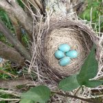 photo of a robin's nest with blue eggs